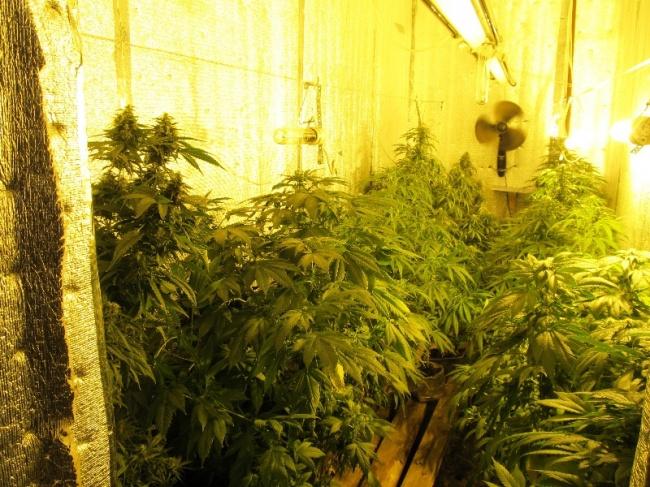 Выращивание канопля дома 43