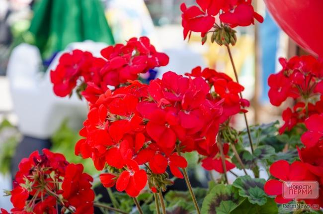 цветы, герань.jpg